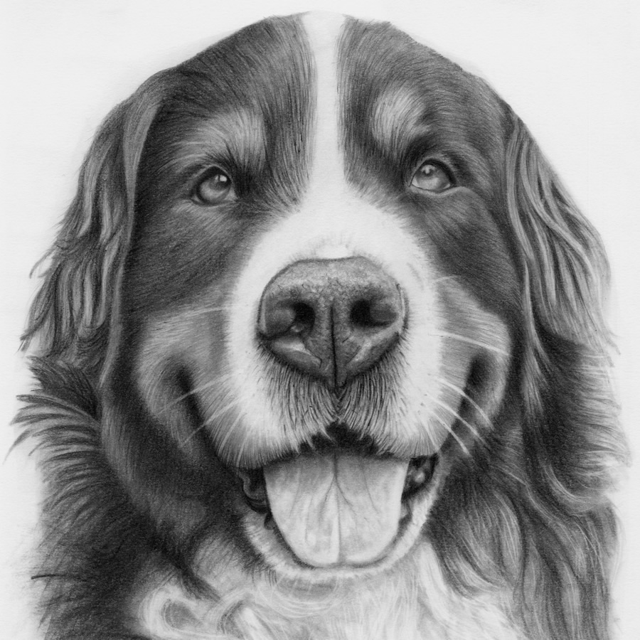 Bernese Mountain Dog Portrait - Jess