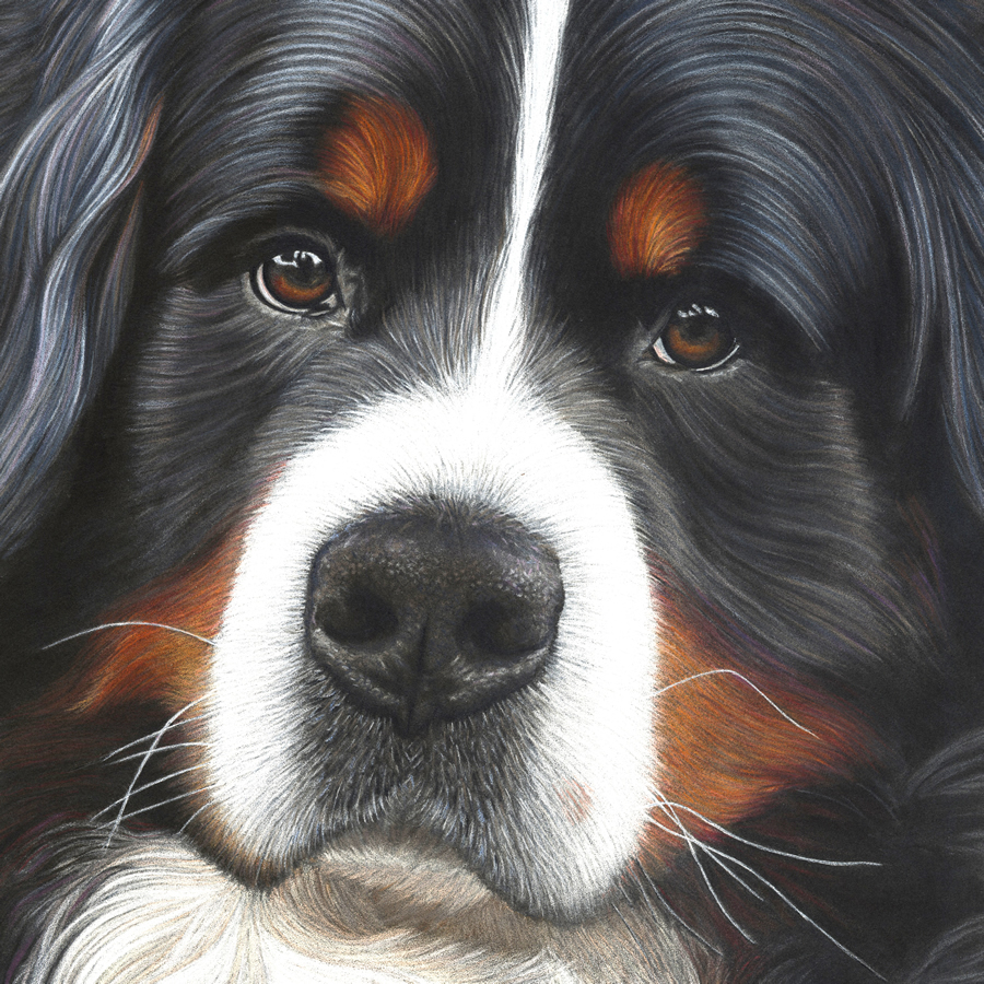 Bernese Mountain Dog Portrait - Jesse