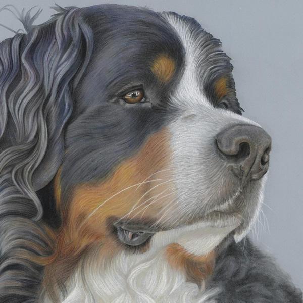 Bernese Mountain Dog Portrait - Ruger