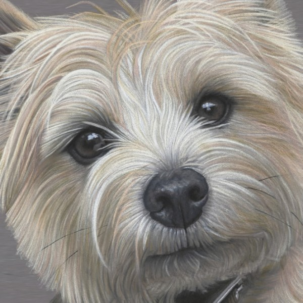 Cairn Terrier Portrait - Dave