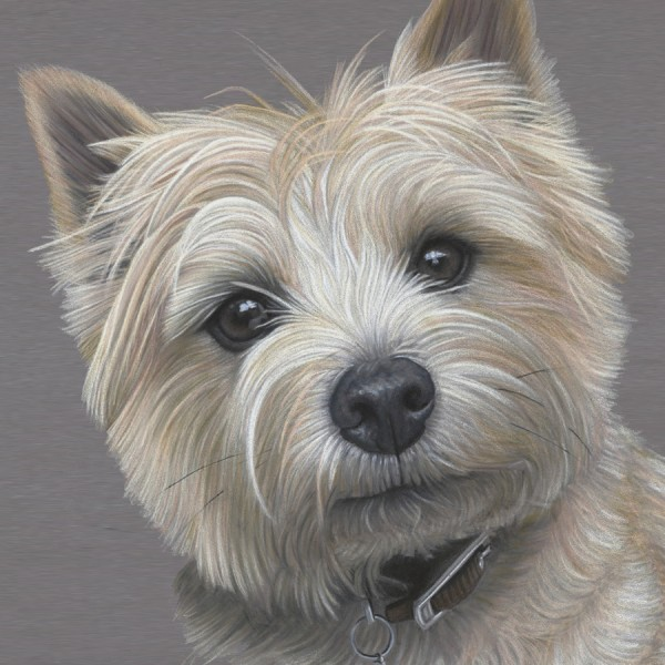 Portrait of Cairn Terrier Dave