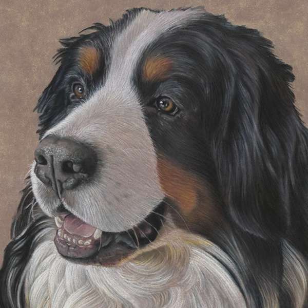 Bernese Mountain Dog Portrait - Mako