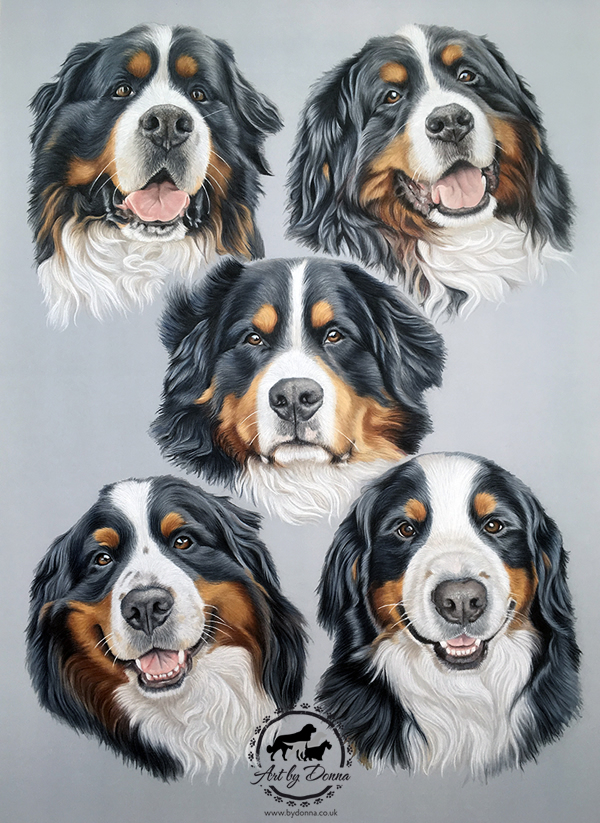 Bernese Mountain Dogs Portrait