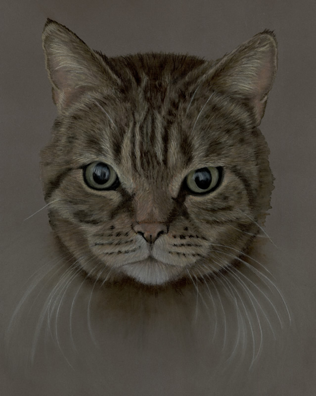 Head Study Portrait of Tabby Cat Asia