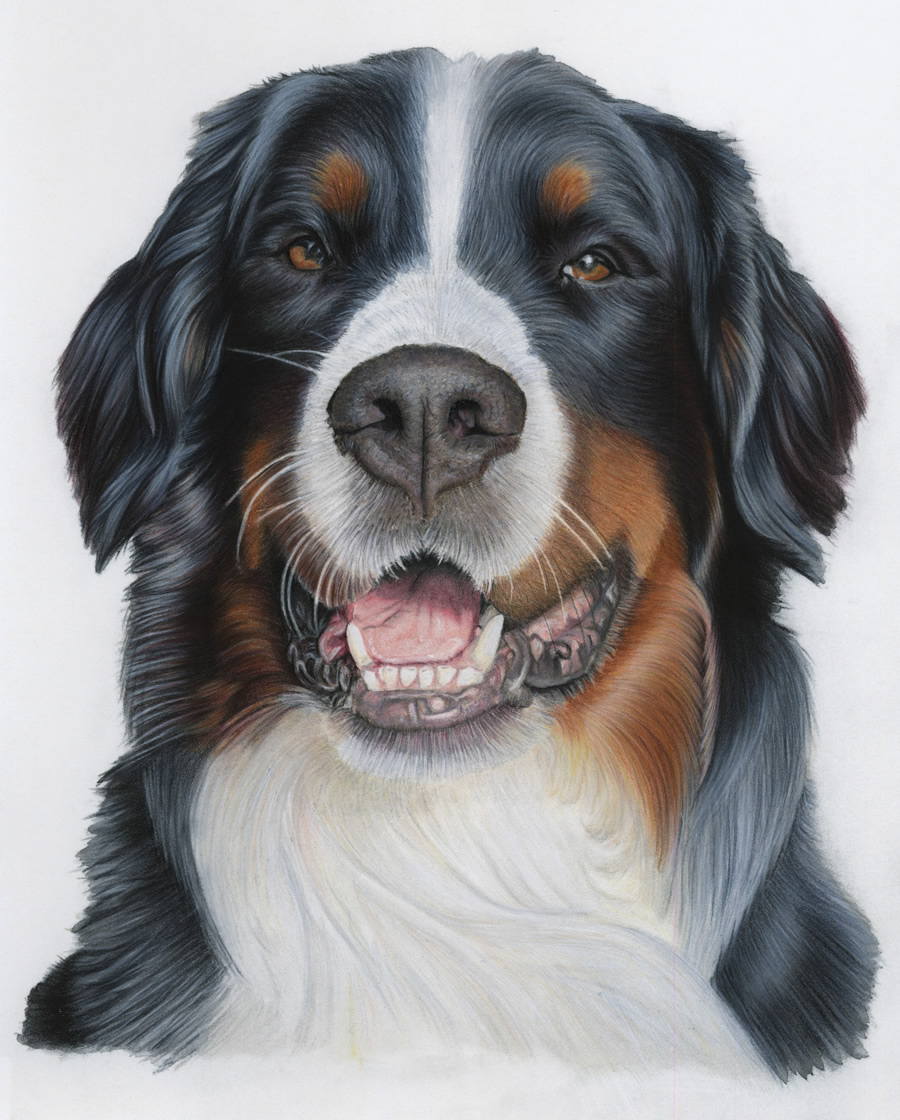 Bernese Mountain Dog Portrait - Bernie