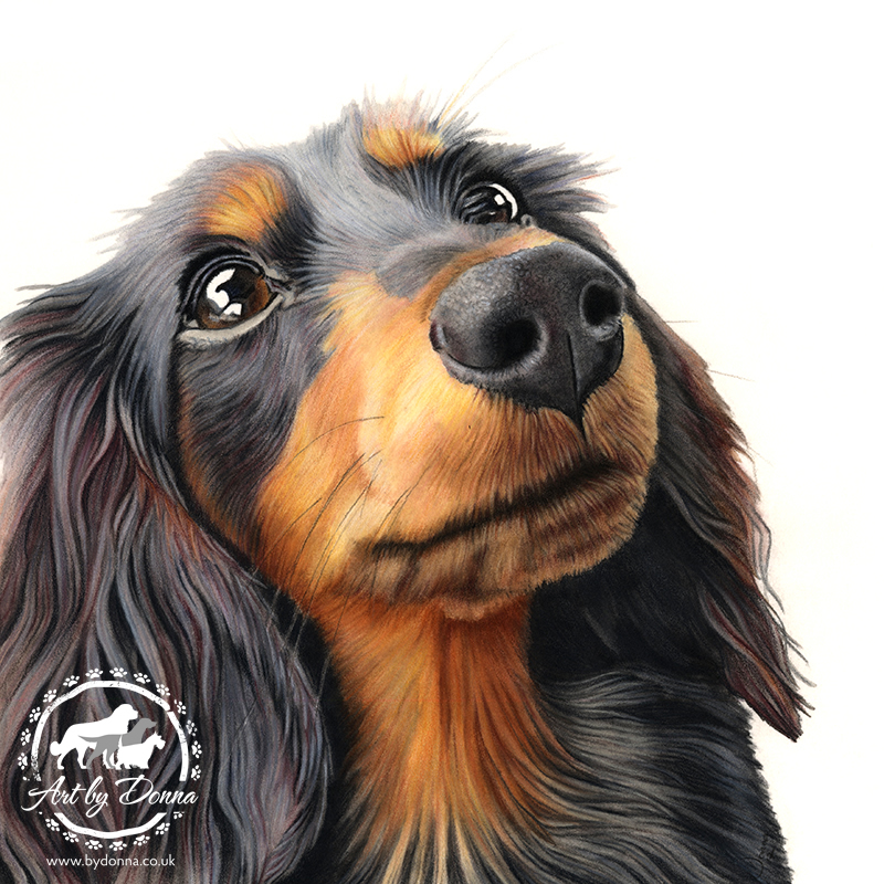 Long Haired Dachshund Dog Portrait - Betty