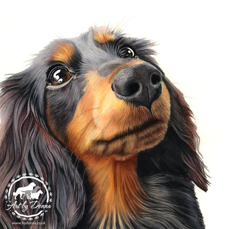 Long Haired Dachshund Dog Portrait - Betty
