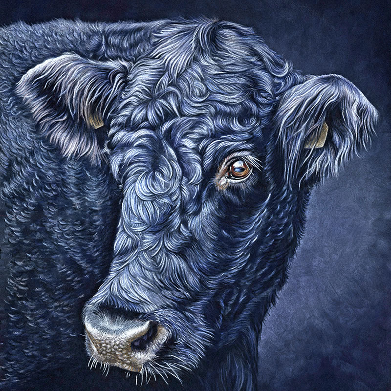 Black-Cow-Portrait-Blue-Moo-800