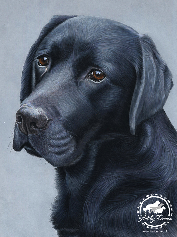 Black_Labrador_Portrait