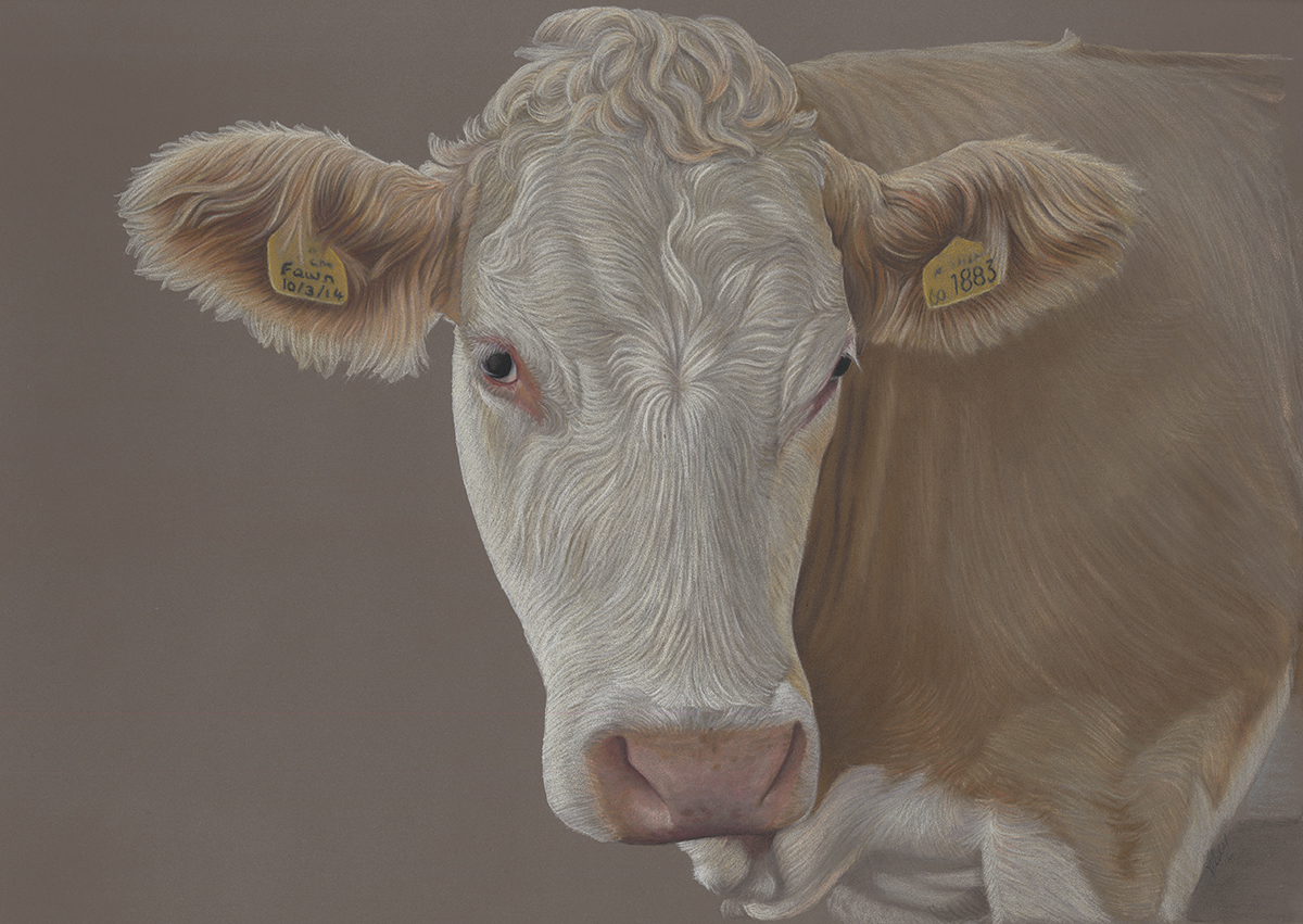Red and White Simmental Cow Portrait