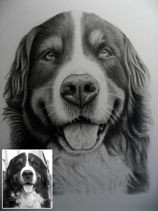 Drawing of Bernese Mountain Dog Jess