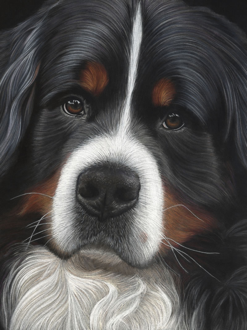 Bernese Mountain Dog Portrait Jesse