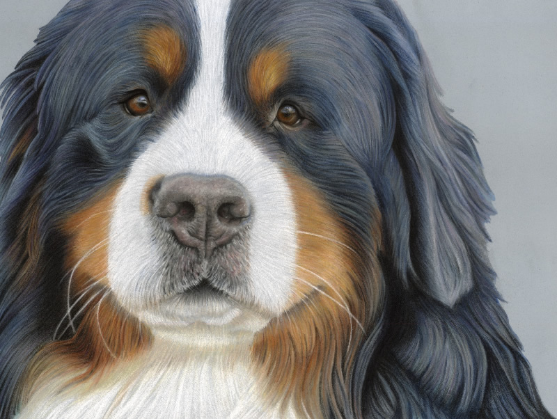 Bernese Mountain Dog Portrait - Loki
