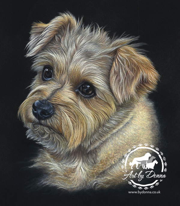 Norfolk_Terrier_Portrait_Hattie