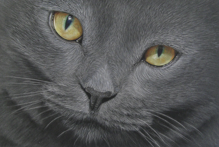 British Shorthair Blue Cat Portrait