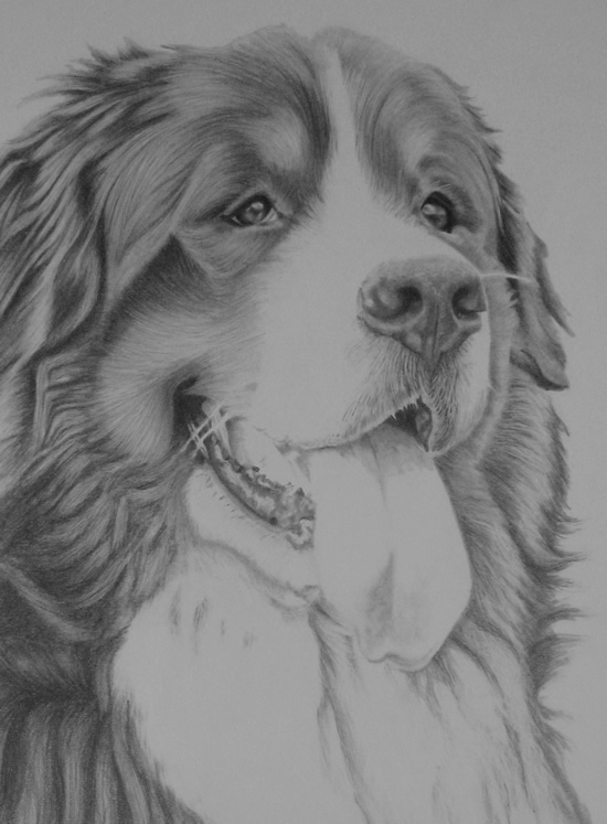 Bernese Mountain Dog Drawing, Ted