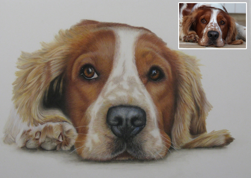 Welsh Springer Spaniel Portrait - Whistler